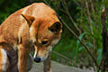 Dingo (2501053558).jpg