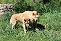 Dingoes (11049015426).jpg