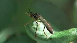File:Dioctria linearis, 2011-06-20.ogv