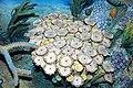 Diorama of a Devonian seafloor - corals, algae, gastropod, trilobites (45654169911).jpg