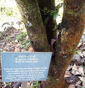 Diospyros tessellaria - Sign at the foot of a young Mauritian ebony at Monvert gardens