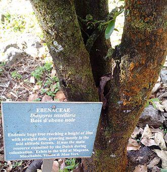 Diospyros tessellaria - Sign at the foot of a young Mauritian ebony at Monvert gardens