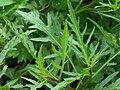 Diplotáxis tenuifolia 910.JPG