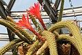 Discocactus martianus pm1.jpg