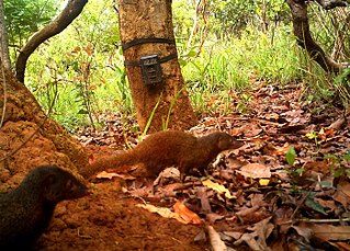 Pousarguess mongoose species of mammal