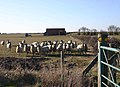 Dosey Barn and dozy sheep - geograph.org.uk - 1747140.jpg