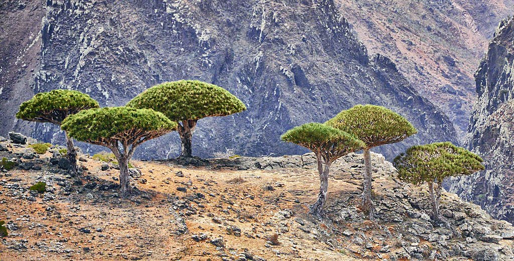 Dragon's Blood Trees, Socotra Island (12455632274) (cropped)