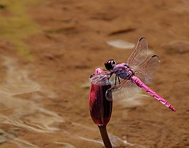 Dragonfly on a lilly.jpg