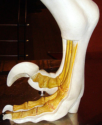Dromaeosauridae - Model of the foot bones of a typical dromaeosaurid