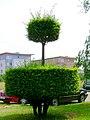 Drzewo - panoramio (4).jpg