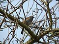 Dunnock, South Normanton (4482344072).jpg