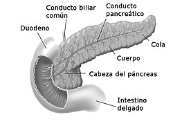 proceso uncinado de la función del páncreas y la diabetes