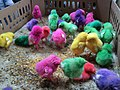Dyed chicks in Pasty Market 05.jpg