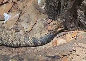 Eastern diamondback rattlesnake - Detail of rattle