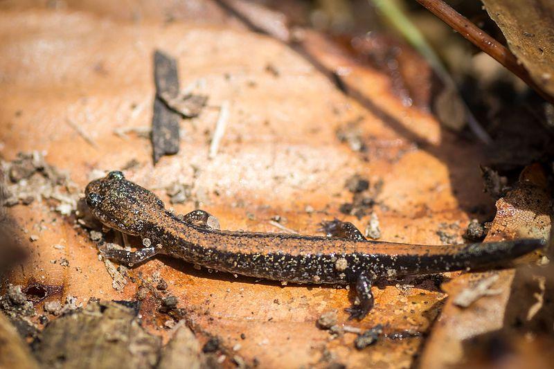 File:Eastern Red-backed Salamander (Plethodon cinereus) (25994974675).jpg