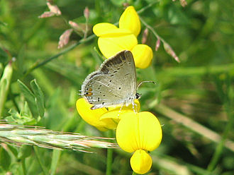 Cupido (butterfly) - Eastern tailed-blue (C. comyntas)