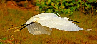 Little egret - In flight, showing yellow feet, at Pichavaram Mangrove Forest, South India