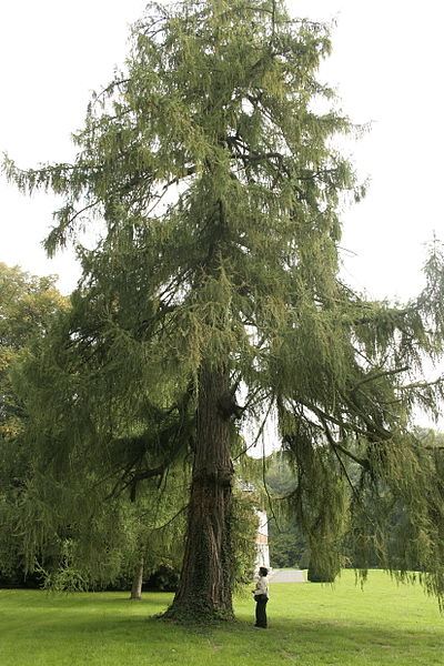 Écaussinnes-d'Enghien, Château de la Folie - Le grand mélèze d'Europe (Larix decidua).    Circonférence mesurée à  1m50 du sol: 431 cm (2007)  Hauteur : 29m (1986)   Particularité: le plus gros arbre de son espèce en Belgique.  Position exacte : 	   Camera location  50° 34′ 24″ N, 4° 10′ 46″ E   View this and other nearby images on: OpenStreetMap - Google Earth    50.573333;    4.179444