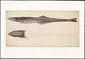 Echeneis naucrates - 1769 - Print - Iconographia Zoologica - Special Collections University of Amsterdam - UBA01 IZAA100045.tif
