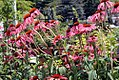 Echinacea Summer Sky 5zz.jpg