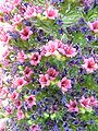 Echium wildpretii 4.jpg