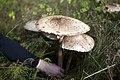 Edible mushroom.jpg