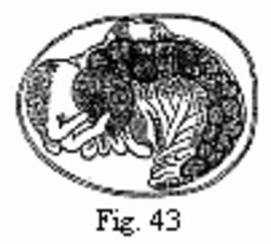 Embryons desséchés - Image: Edriophthalma 43
