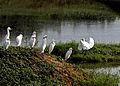 Egrets on a island 1.jpg
