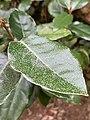 Elaeagnus x ebbingei at the Morris Arboretum 02.jpg