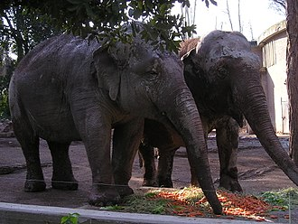 Bioparco di Roma - Image: Elefanti indiani