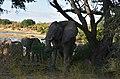 Elephant, Ruaha National Park (28) (28619753412).jpg