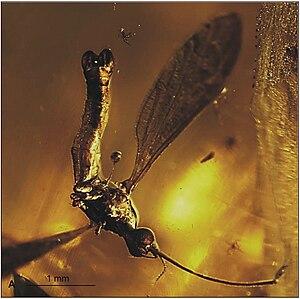 Elephantomyia bozenae - E. (E.) bozenae holotype