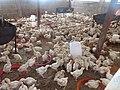 Elevage de poulets 2.jpg