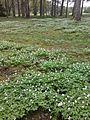 Emmaste (Hiiumaa) vallamaja taga metsapargis kasvavad ülased.jpg