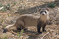 Endangered Black-Footed Ferret - 26003368476.jpg
