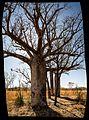 Endless Stations 66 - Boab Trees, Life Upside Down.jpg