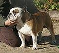 English Bulldog red & white.jpg