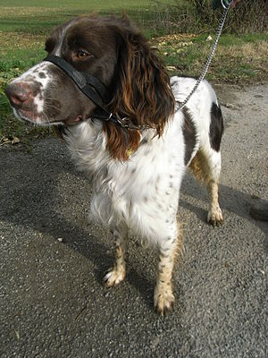 French Spaniel - A brown and white French Spaniel.
