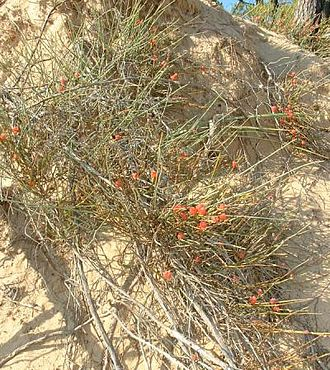 Haoma - A representative of the genus Ephedra.