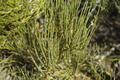 Ephedra viridis in Natural Bridges National Monument 20100906.png