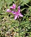 Epilobium montanum Broad-leaved Willowherb მთის წყალნაწყენი.JPG