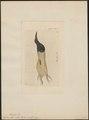 Epimachus albus - 1810 - Print - Iconographia Zoologica - Special Collections University of Amsterdam - UBA01 IZ16100079.tif
