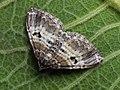 Epirrhoe alternata - White-banded toothed carpet - Ларенция белополосая (43789335981).jpg