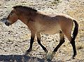 Equus przewalskii Shinjang.jpg