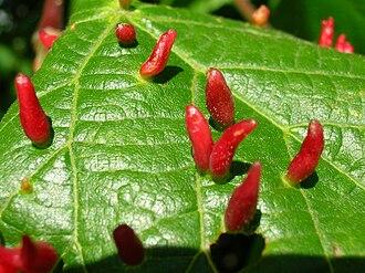 Eriophyidae - Eriophyes tiliae tiliae galls