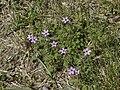 Erodium cicutariumWoblitz.jpg