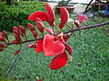 Erythrina crista-galli (3).JPG