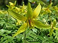 Erythronium americanum 2019-04-16 0330.jpg