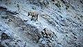 Etagnes et leurs petits au col des Saulces (2371 m) (5).jpg