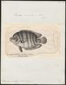 Etroplus suratensis - 1809-1845 - Print - Iconographia Zoologica - Special Collections University of Amsterdam - UBA01 IZ14000054.tif
